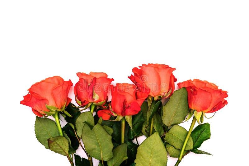 Fem röda rosor på en vit bakgrund Ljusa nya blommor med gröna sidor vita tulpan f?r blomma f?r bakgrundssammans?ttningsconvolvulu arkivbilder