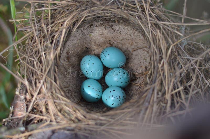 Fem spräckliga ägg för turkos i redet av sångtrasten i deras naturliga livsmiljö fotografering för bildbyråer