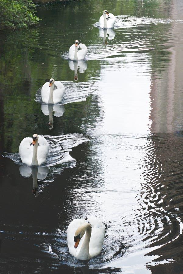 Fem svanar royaltyfri bild