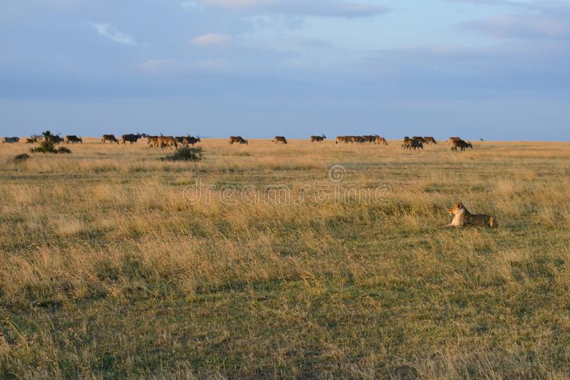 A creeping lion stock image
