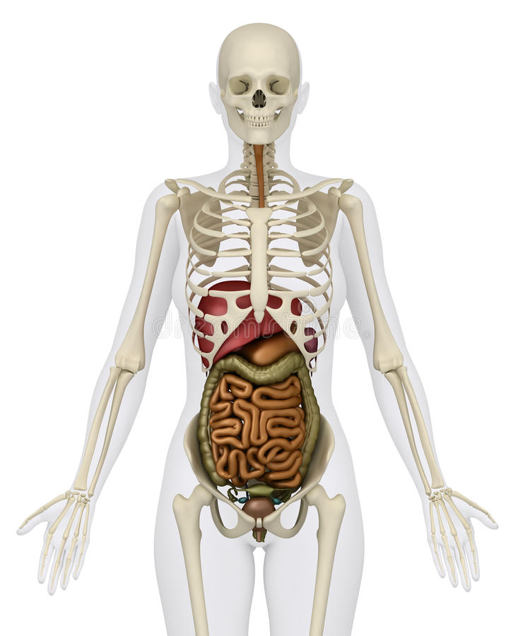 Female Abdominal Organs With Skeleton Stock Illustration ...