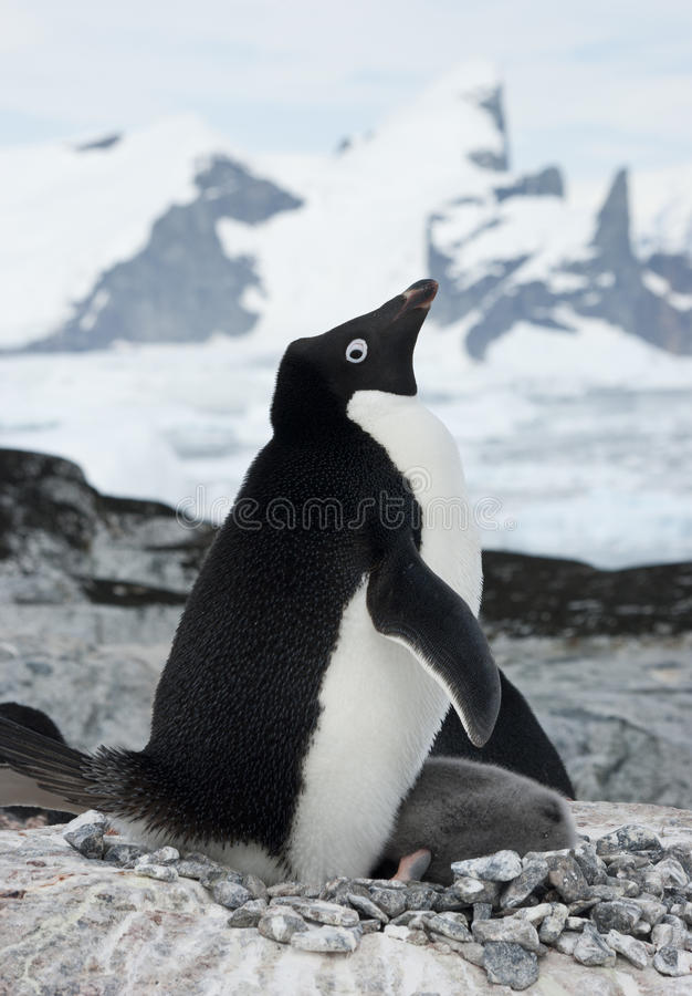 Female Adelie Penguin With Chicks. Stock Photography