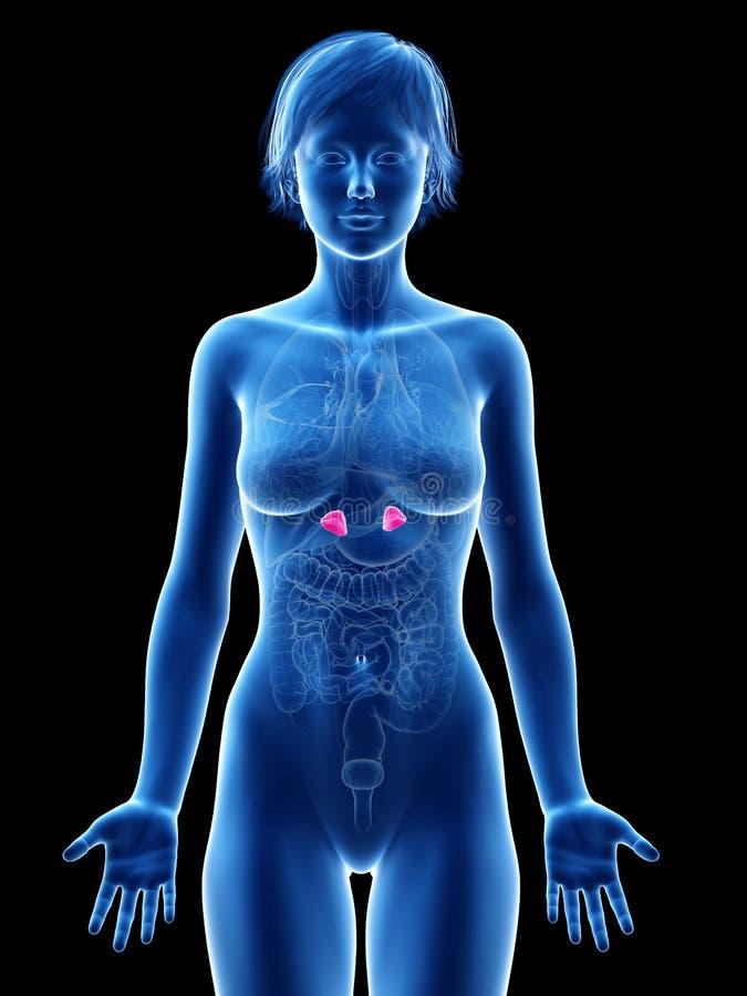 Femaleadrenal gruczoły ilustracja wektor