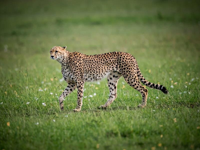 Female adult cheetah walks across green field in Samburu. Kenya stock photography