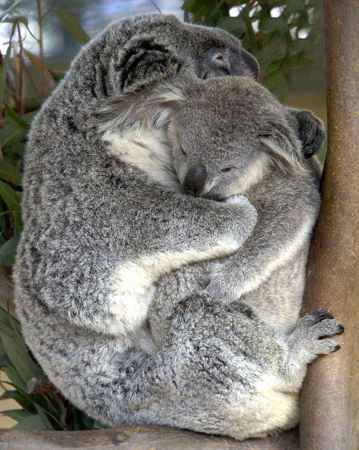 Female adult koala bear holding baby , australia stock images