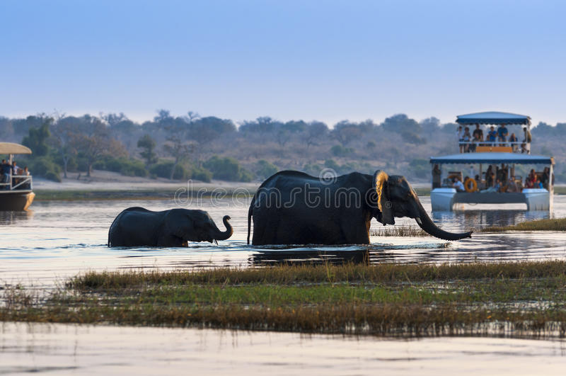 Female African Elephant and its cub crossing the Chobe River in the Chobe National Park with tourist boats on the background stock images