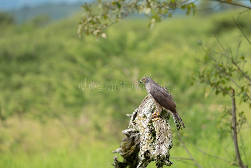 A female African Goshawk perched on a tree royalty free stock photography