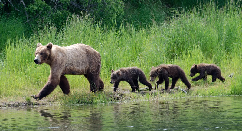 Female Alaskan brown bear with cubs stock images