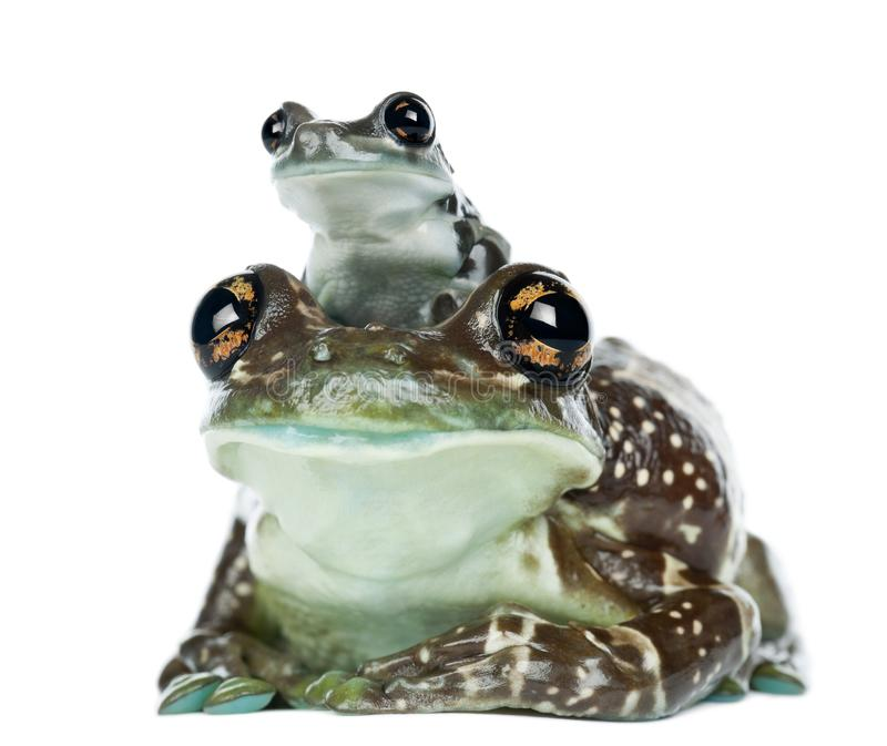 Female Amazon Milk Frog with young, Trachycephalus resinifictrix, portrait against white background stock photo