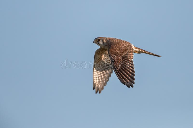 Female American Kestrel In Flight. Female American Kestrel majestically flying over a field. The male has blue wings royalty free stock image