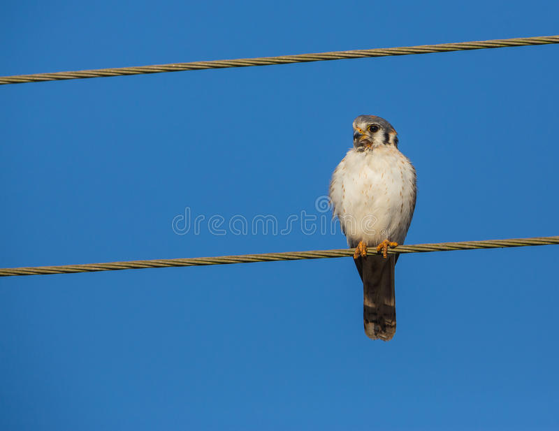 Female American Kestrel On A Wire Stock Image - Image of male ...