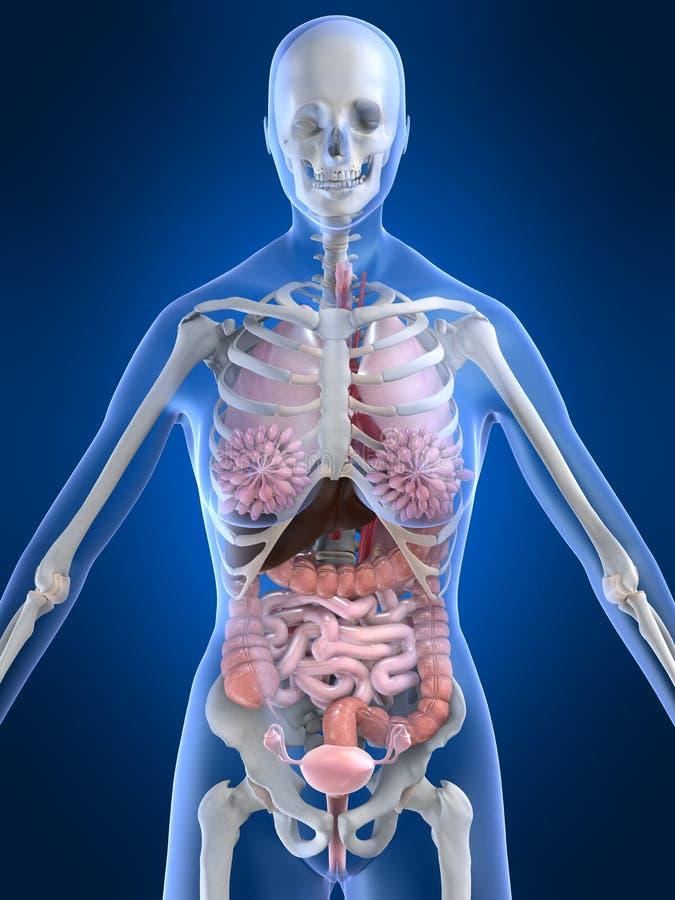 Female anatomy. 3d rendered anatomy illustration of a female skeleton with organs vector illustration