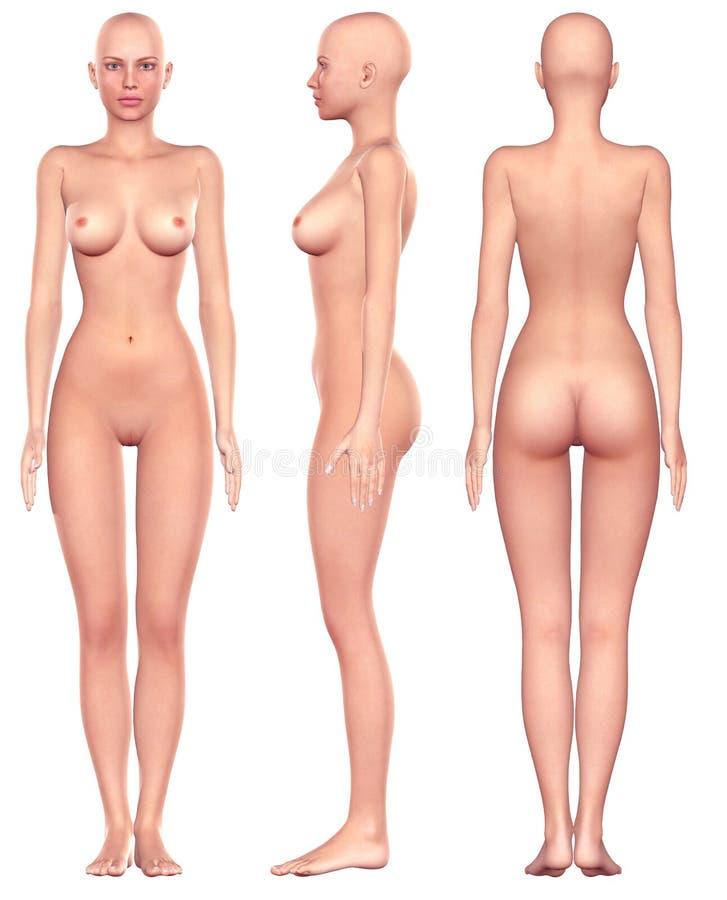 Female Anatomy Stock Illustration Illustration Of Single 8806531