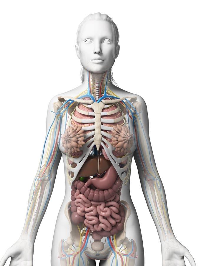 Female anatomy stock illustration