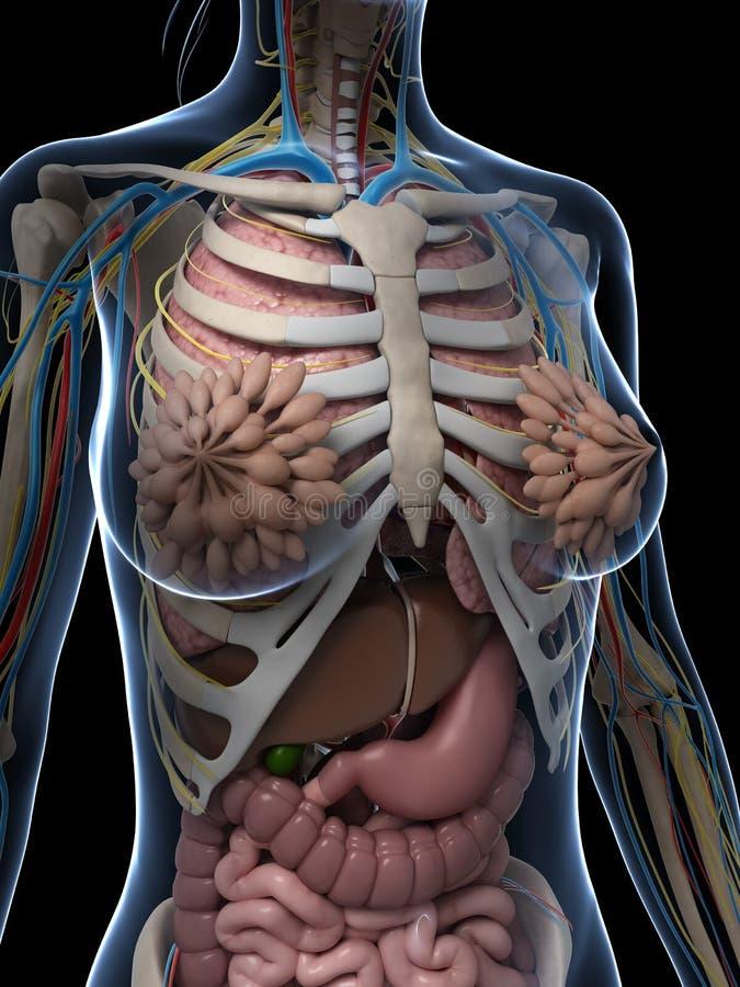 Фото скелета человека с органами