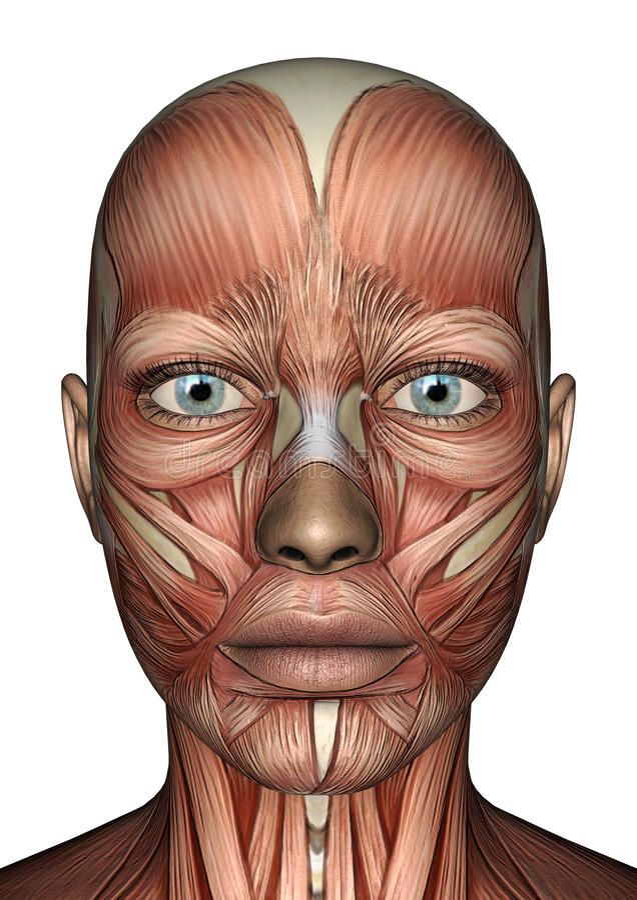 Female Anatomy Face stock illustration