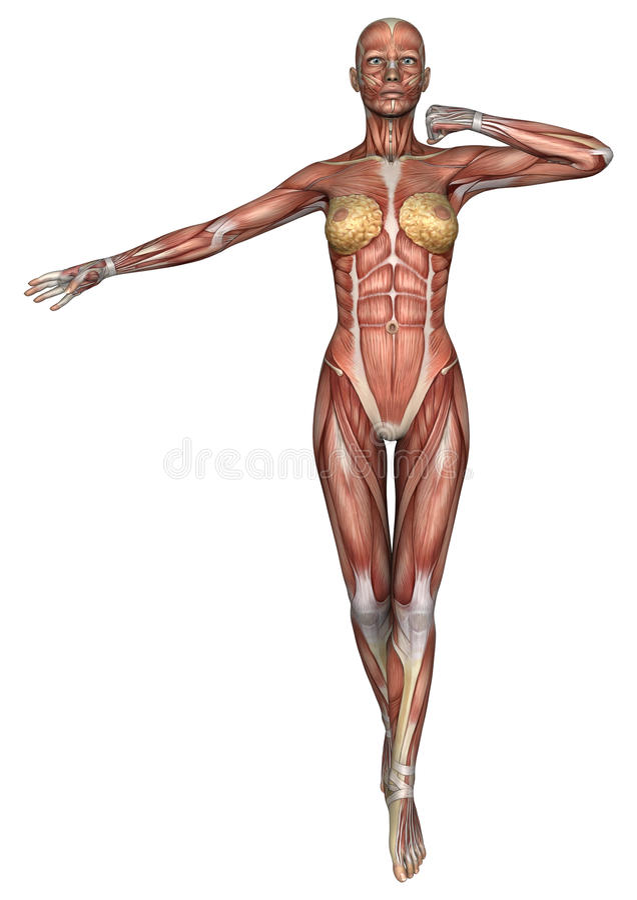 Female Anatomy Figure stock illustration. Illustration of muscle ...