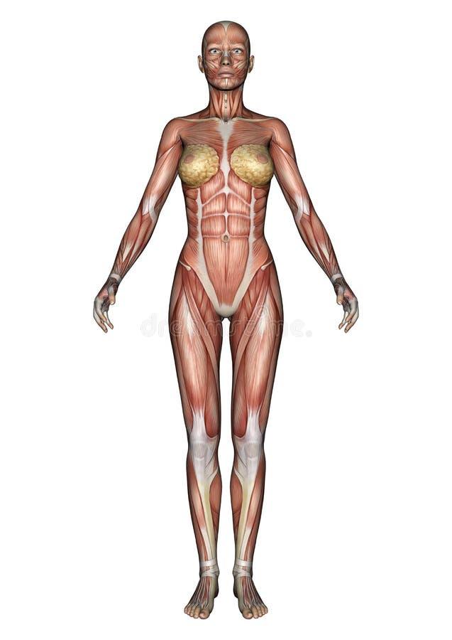 Female Anatomy Figure stock illustration. Illustration of healthy ...