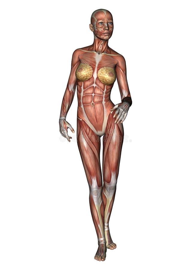 Female Anatomy Figure stock illustration. Illustration of woman ...