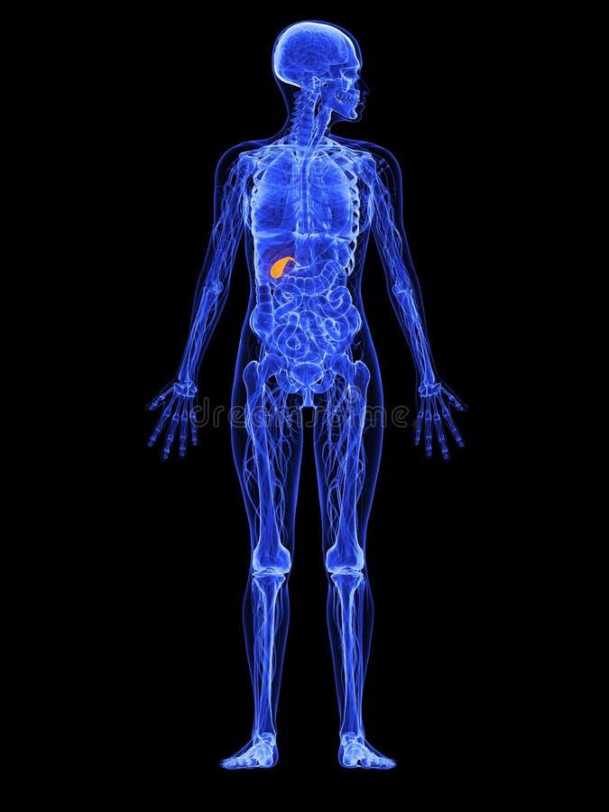 Female anatomy - gallbladder royalty free illustration