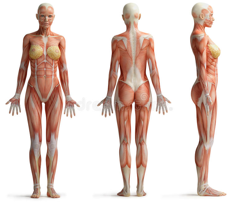 Female anatomy stock illustration. Illustration of muscles - 50024307