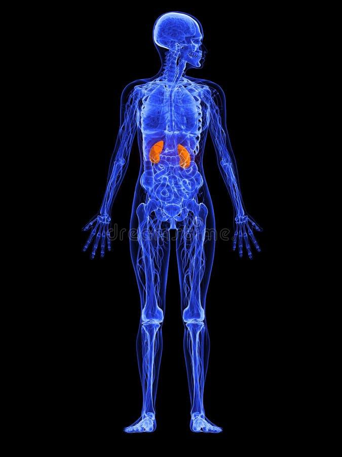 Female Anatomy - Kidneys 3d Rendered Illustration Stock Illustration ...