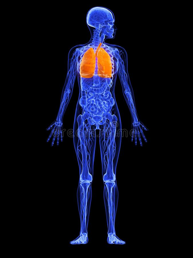 Female anatomy - lung. 3d rendered illustration of a transparency female body with highlighted lung vector illustration