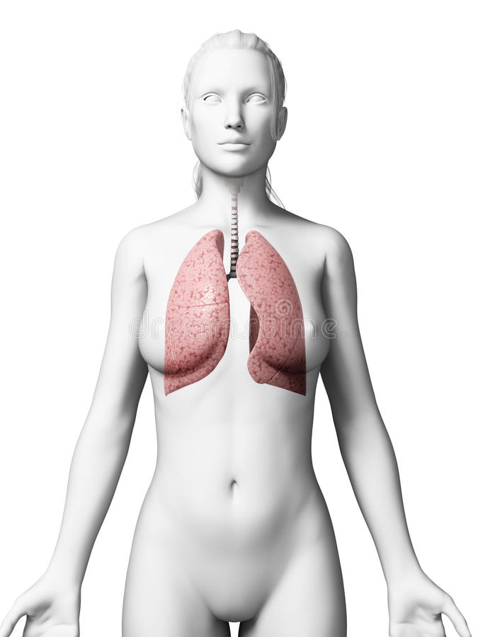 Female anatomy - lung. 3d rendered illustration of the female lung royalty free illustration