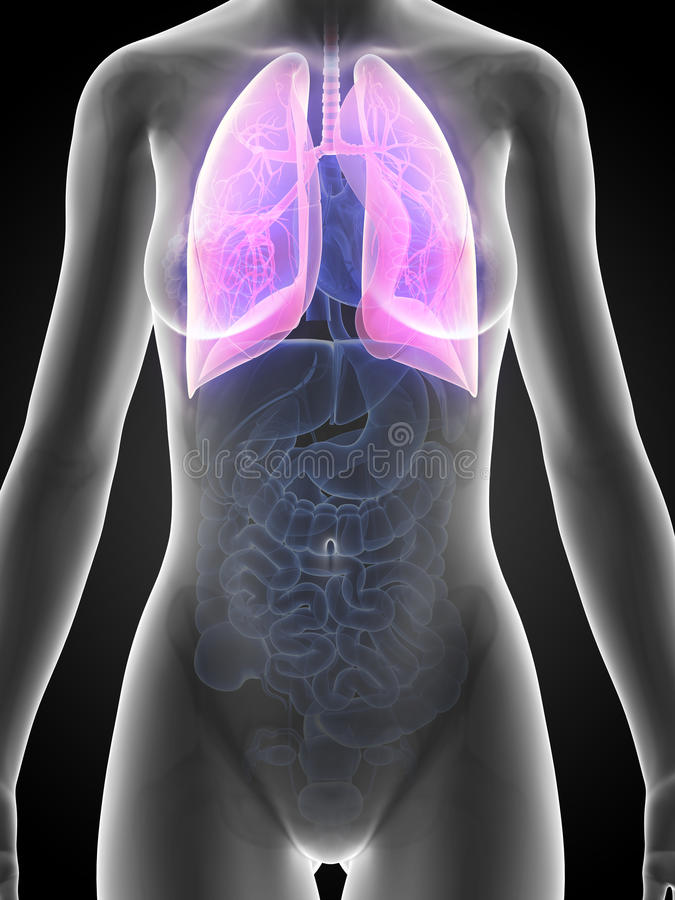 Female anatomy - lung. 3d rendered illustration of the female anatomy - lung royalty free illustration