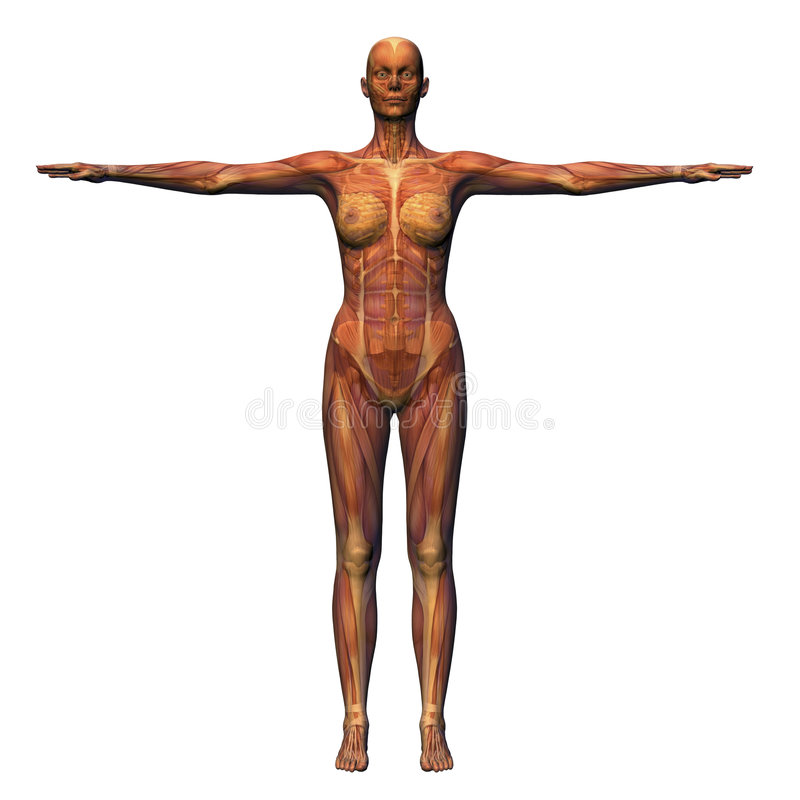 Female Anatomy - Musculature w. Anatomical illustration of female musculature royalty free illustration