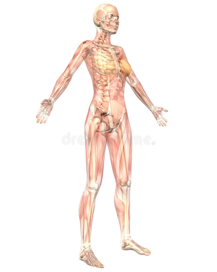 Female Anatomy Semi Transparent Angled Front View stock illustration