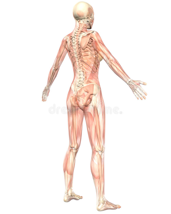 Female Anatomy Semi Transparent Angled Rear View Stock Illustration