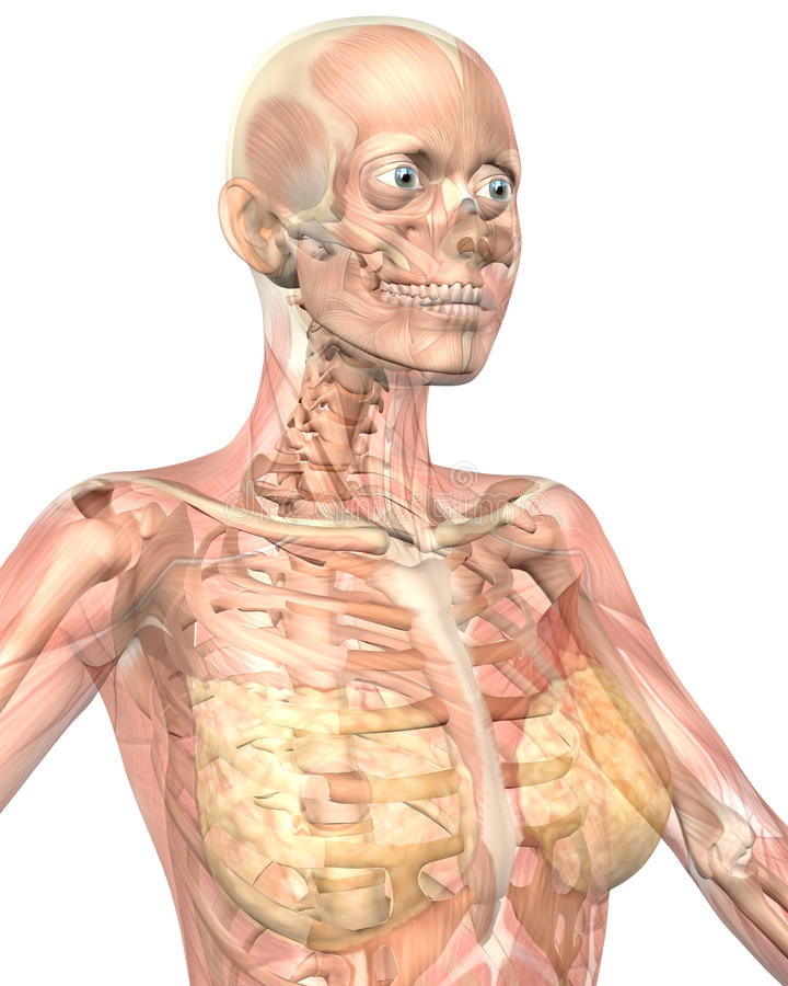 Female Anatomy Semi Transparent Close Up View Stock Illustration