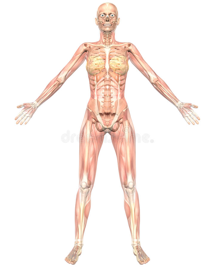 Female Anatomy Semi Transparent Front View Stock Illustration ...