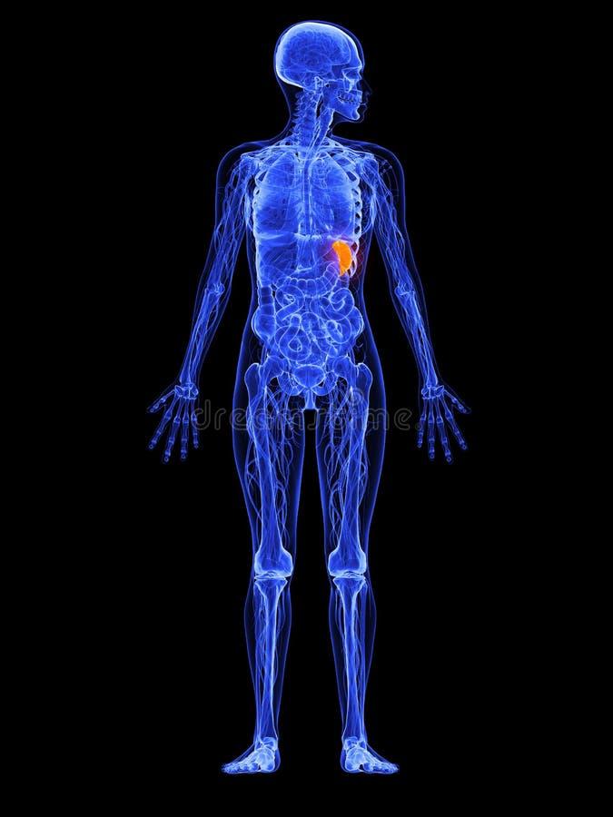 Download Female anatomy - spleen stock illustration. Image of anatomical - 18582972