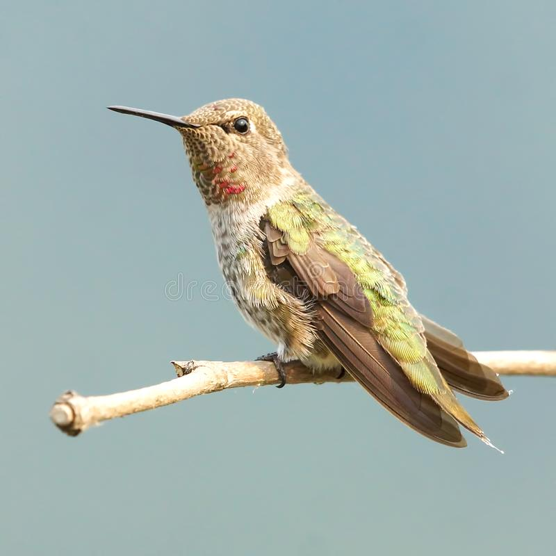 Female Anna`s Hummingbird Perched High On A Branch royalty free stock photos