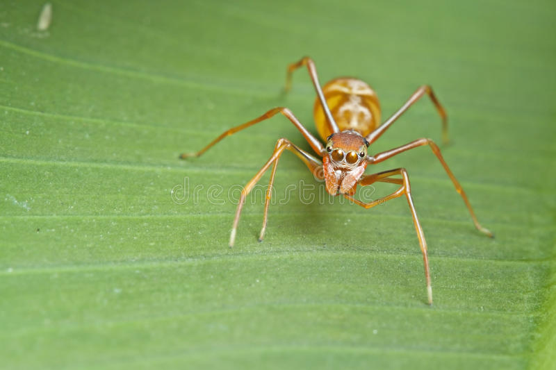 Female ant-mimic spider royalty free stock photo
