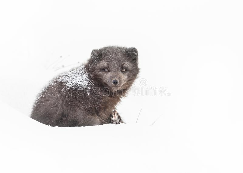 Female arctic fox laying on the snow. With fur covered with snow, winter in Iceland stock photo