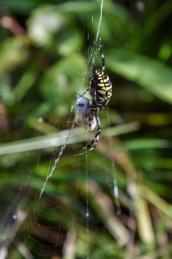 Female Argiope bruennichi feeding, yellow wasp spider. A female Argiope bruennichion wasp feeding, yellow wasp spider macro stock photos