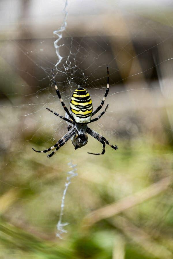 Female Argiope bruennichi, yellow wasp spider. A female Argiope bruennichi, yellow wasp spider in cobweb stock photos