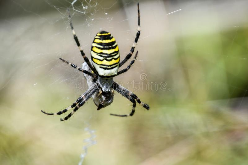 Female Argiope bruennichi, yellow wasp spider. A female Argiope bruennichi, yellow wasp spider macro stock image