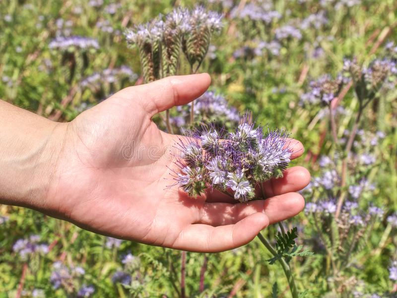 Female arm with blossom of phacelia flowers in hand royalty free stock images