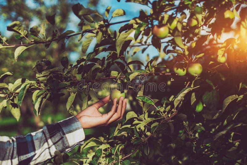Female arm holding ripe apple on branch stock photo