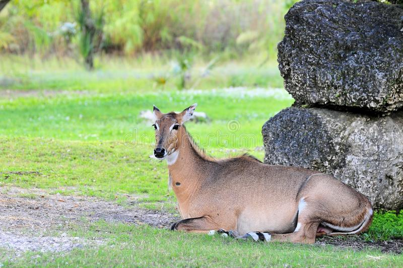 Female Asian Antelope royalty free stock photos