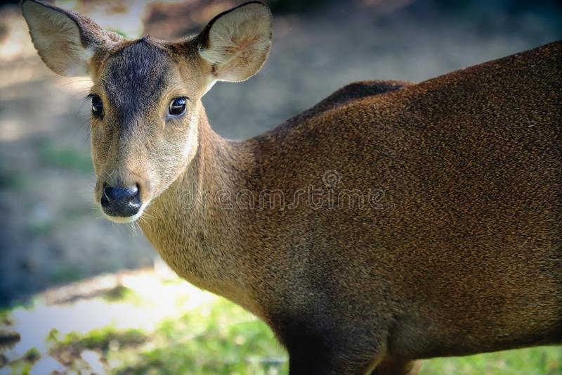 female Asian Eld`s Deer stock photo