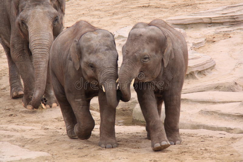 Female asian elephant and kids royalty free stock photography
