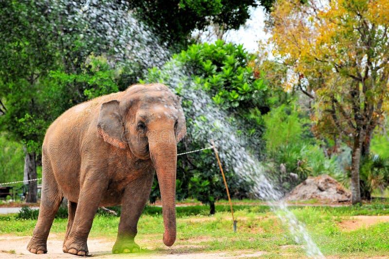 Female Asian elephant showering royalty free stock image