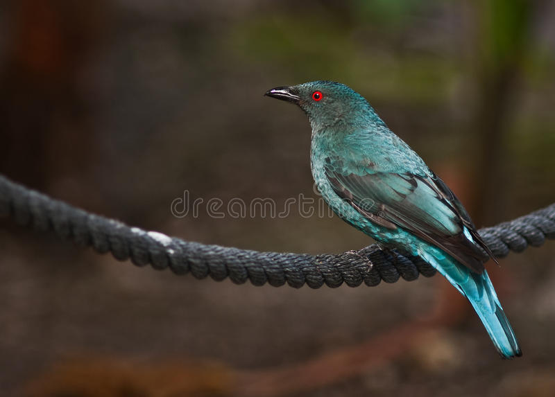 Female Asian Fairy Bluebird stock images