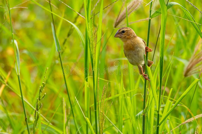 Female Asian Golden Weaver perching on grass stem in paddy field royalty free stock photos
