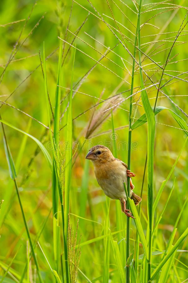 Female Asian Golden Weaver perching on grass stem in paddy field. Bangkok, Thailand n royalty free stock images